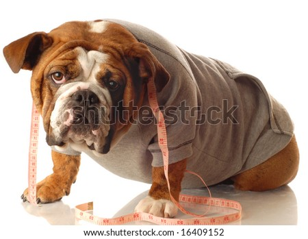 english bulldog wearing workout gear and tape measure around neck - stock photo