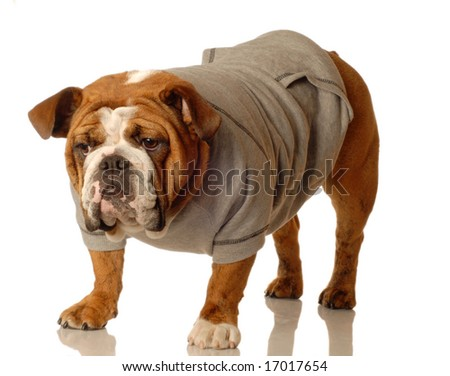 english bulldog wearing workout gear ready to start training - stock photo
