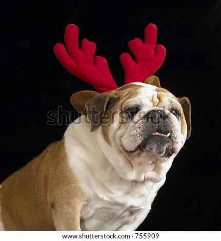 English Bulldog with antlers - stock photo