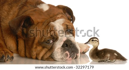 english bulldog with baby mallard duck isolated on white background