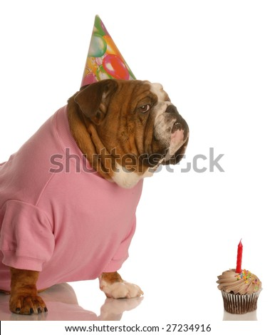 english bulldog with birthday party hat sitting in front of chocolate cupcake - stock photo