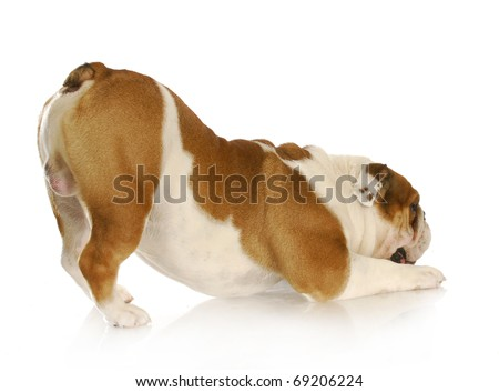 english bulldog with bum up in the air on white background