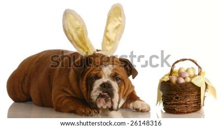 english bulldog with bunny ears and easter basket - stock photo