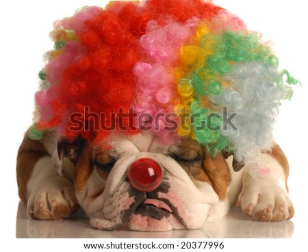 english bulldog with colorful clown wig and red nose isolated on white background