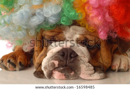 english bulldog with colorful clown wig and silly expression - stock photo