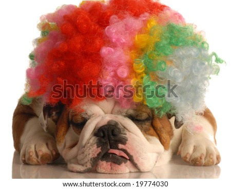 english bulldog with colorful clown wig isolated on white background