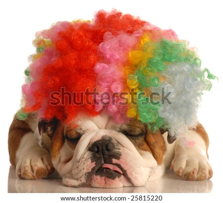 english bulldog with colorful clown wig isolated on white background - stock photo