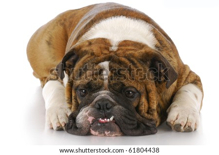 english bulldog with crooked teeth laying down with reflection on white background - stock photo