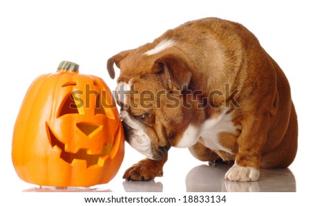 english bulldog with festive cutout pumpkin on white background - stock photo