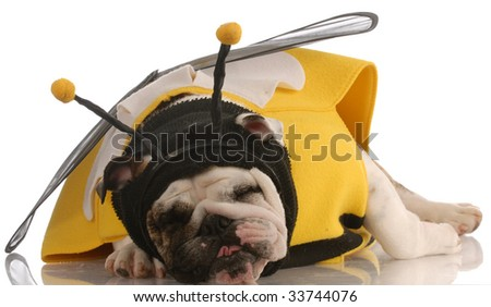 english bulldog with funny expression dressed up as a bee - stock photo