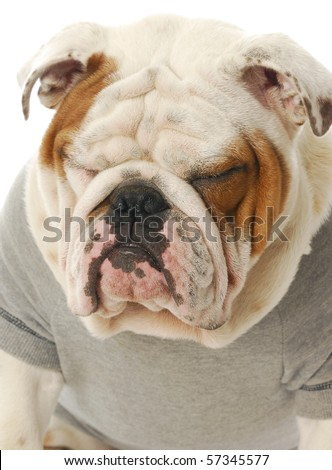 english bulldog with funny expression wearing grey sweater with reflection on white background - stock photo