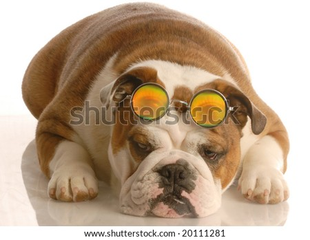 english bulldog with funny looking four eyes - stock photo