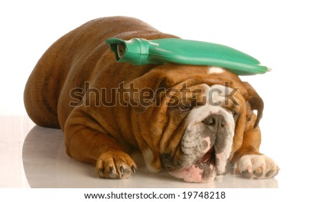 english bulldog with green hot water bottle on head - suffer a migraine - stock photo