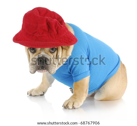 english bulldog with guilty expression wearing blue shirt and red hat on white background