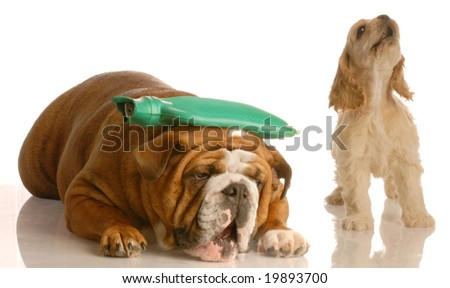 english bulldog with hot water bottle on head with cocker spaniel standing beside her howling - concept of argument or headache - stock photo