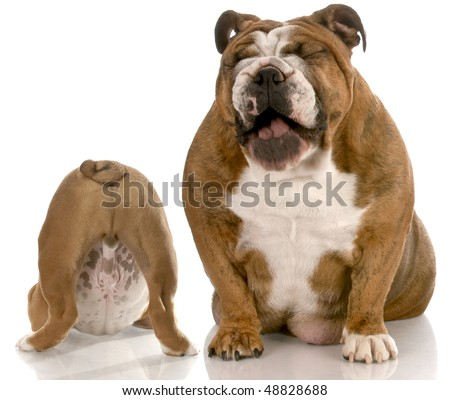english bulldog with mouth open laughing at puppy with backside in the air isolated on white background - stock photo