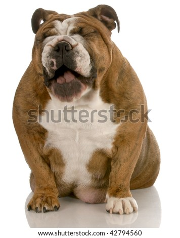 english bulldog with mouth open laughing isolated on white background - stock photo