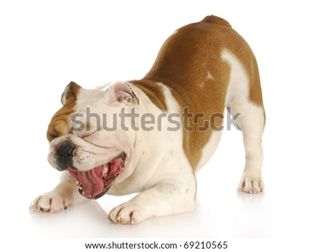 english bulldog with mouth open making funny face with reflection on white background - stock photo