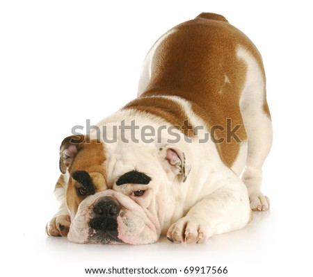 english bulldog with mustache and dark eyebrows with reflection on white background - stock photo