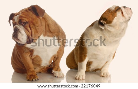 english bulldog with nose turned up and another one turned away - dog fight