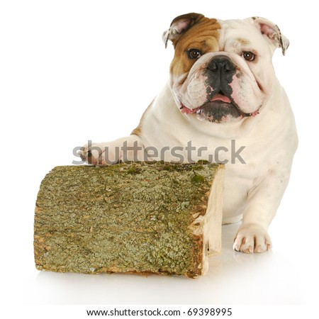 english bulldog with paw up on piece of cut wood with reflection on white background