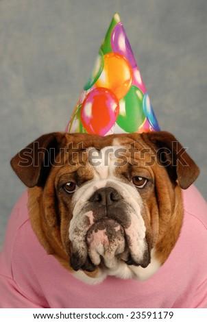 english bulldog with pink shirt and birthday hat - stock photo