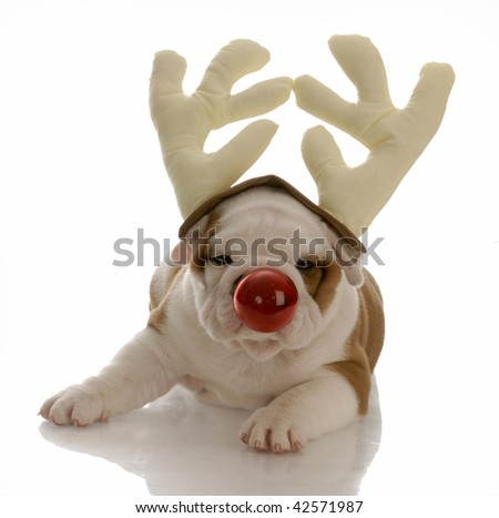 english bulldog with red nose dressed as rudolph - stock photo