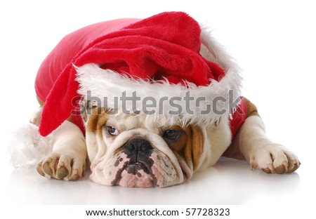 english bulldog with sad expression dressed up like santa claus with reflection on white background