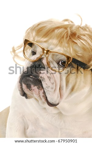 english bulldog with silly expression wearing blond wig and glasses on white background - stock photo