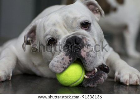 English Bulldog with Tennis Ball - stock photo
