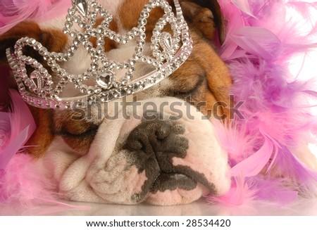 english bulldog with tiara and pink feather boa - stock photo