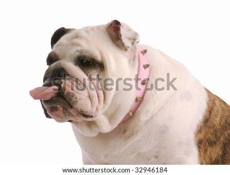 english bulldog with tongue sticking out on white background - stock photo