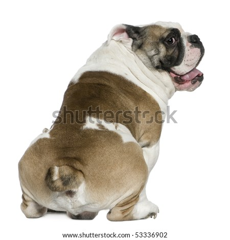 English bulldog, 3 years old, sitting in front of white background - stock photo