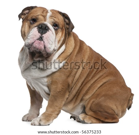 English Bulldog, 6 years old, sitting in front of white background - stock photo
