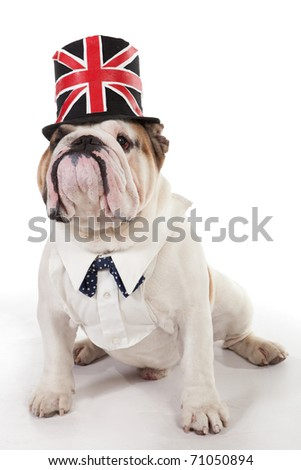 English Bulldog, 2 years old, sitting of white background in a hat. - stock photo