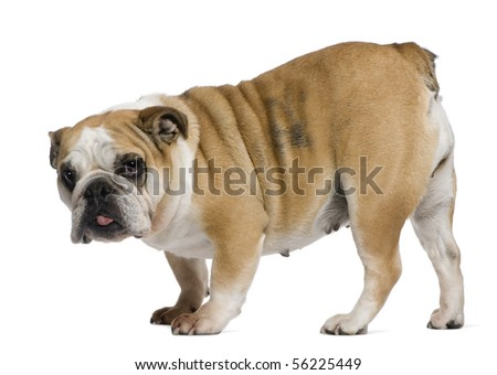 English Bulldog, 3 years old, standing in front of white background