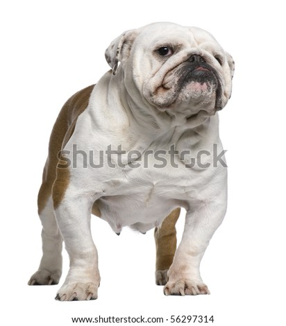 English Bulldog, 5 years old, standing in front of white background