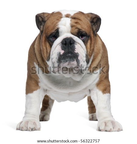 English Bulldog, 2 years old, standing in front of white background - stock photo
