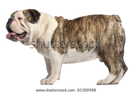English Bulldog, 4 years old, standing in front of white background - stock photo