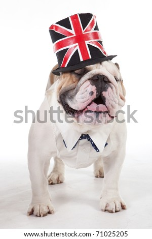 English Bulldog, 2 years old, standing in front of white background in a hat. - stock photo