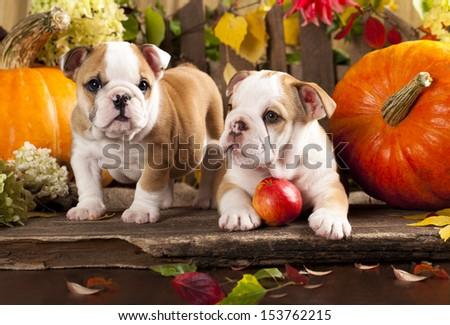 English bulldogs and a pumpkin - stock photo
