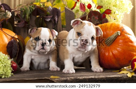English bulldogs and a pumpkin - stock photo