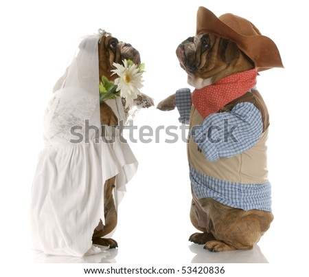 english bulldogs standing up dressed up like a bride and groom with reflection on white background - stock photo