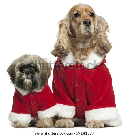 English Cocker Spaniel and Shih Tzu in Santa outfits sitting in front of white background - stock photo