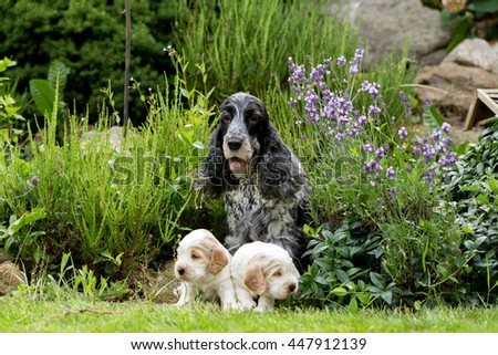 English Cocker Spaniel caring female mother with two small puppies, 24 days old dogs outdoor on green grass.  - stock photo