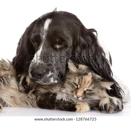 English Cocker Spaniel dog and cat. isolated on white background - stock photo