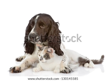 English Cocker Spaniel dog and cat lie together. looking away. isolated on white background - stock photo