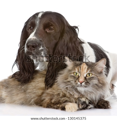 English Cocker Spaniel dog and cat . looking at camera. isolated on white background - stock photo