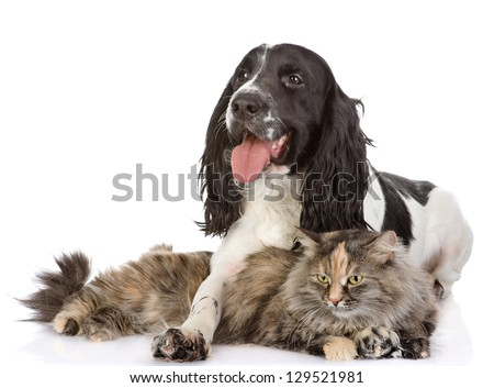 English Cocker Spaniel dog and cat together. looking away. isolated on white background