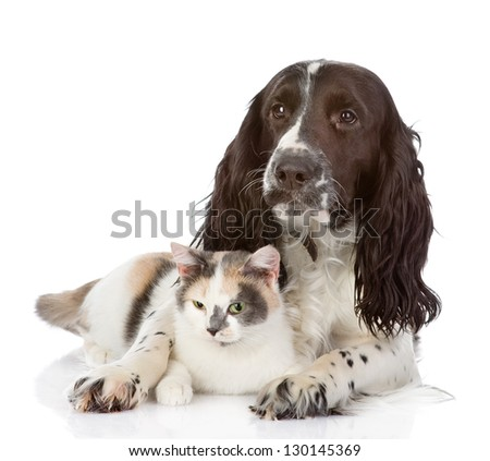 English Cocker Spaniel dog embraces a cat. looking at camera. isolated on white background